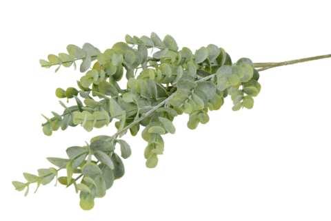 Eukalyptus popolus Busch x3