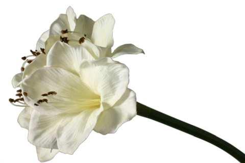 Amaryllis mit 4 Blüten