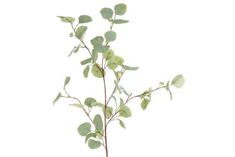 Eucalyptuszweig mit Blüten