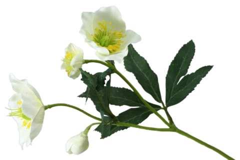Christrosenpick mit 3 Blüten u. 1 Knospe