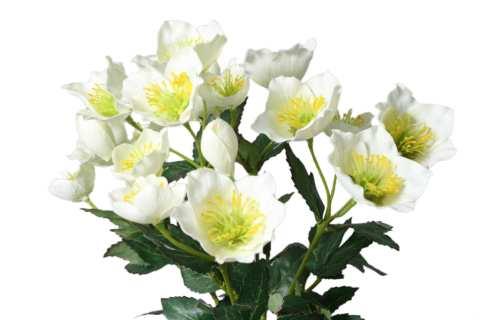 Christrosenbusch mit 17 Blüten